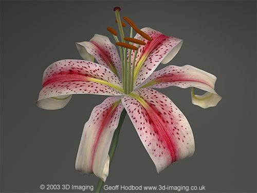 Lily Virtual CG